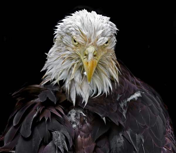 Wet Bald Eagle. Photo by Andrew Tan