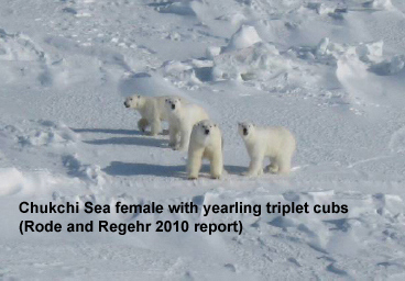 Chukchi Sea Polar Bears