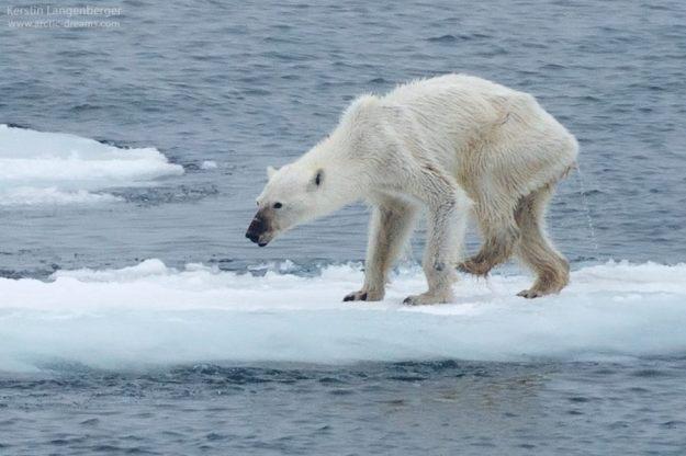 Starving Svalbard polar bear
